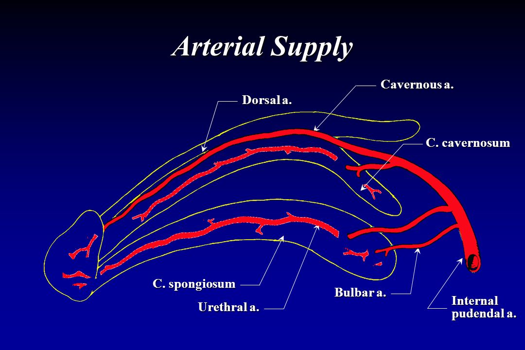 Arterial Supply Cavernous a. Dorsal a. C. cavernosum C. spongiosum