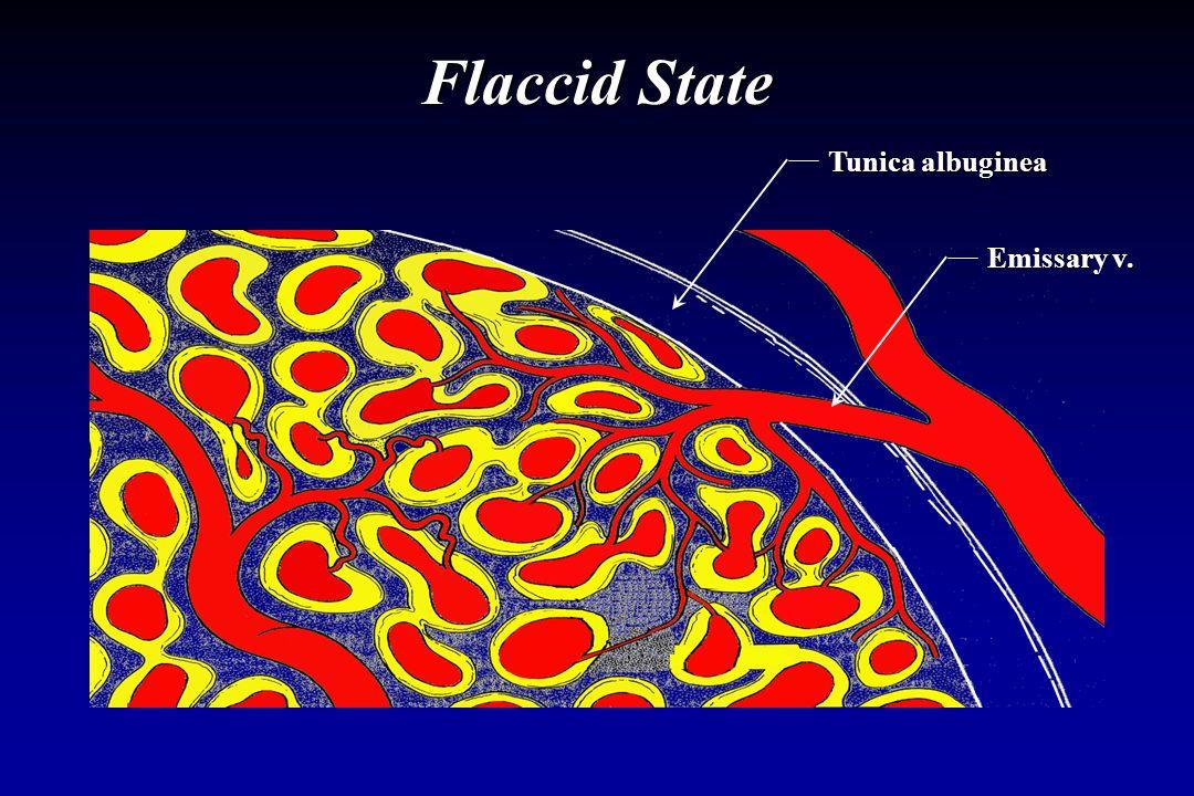 Flaccid State Tunica albuginea Emissary v.