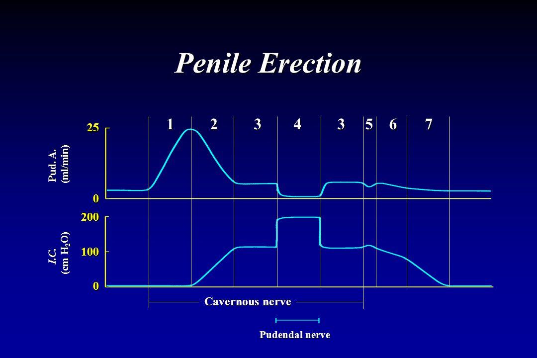 Penile Erection 1 2 3 4 3 5 6 7 25 200 100 Cavernous nerve Pud. A.