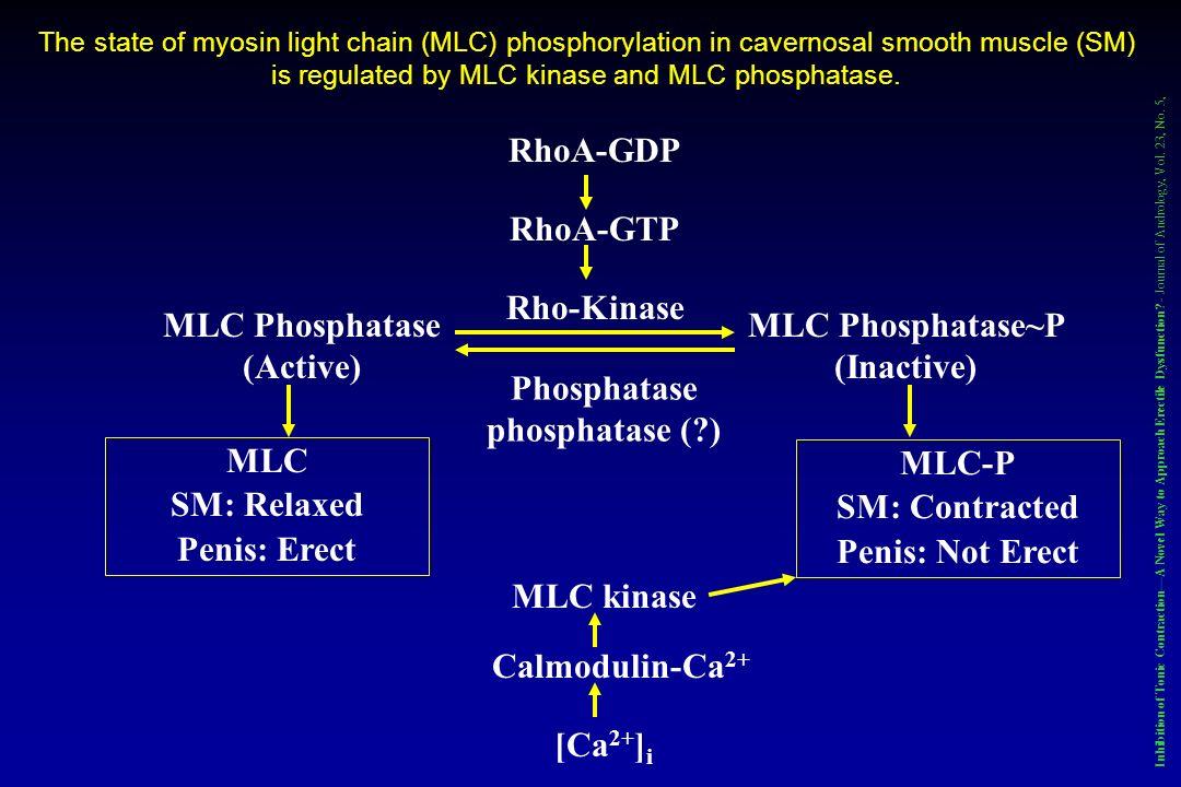 MLC Phosphatase (Active) MLC Phosphatase~P (Inactive)