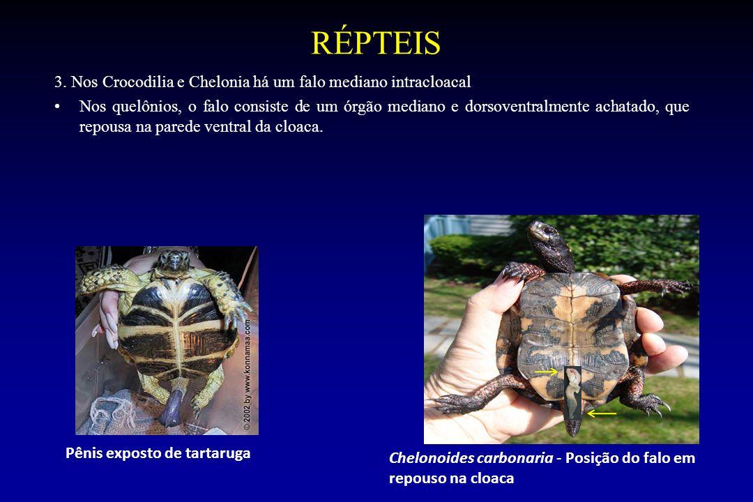 RÉPTEIS 3. Nos Crocodilia e Chelonia há um falo mediano intracloacal