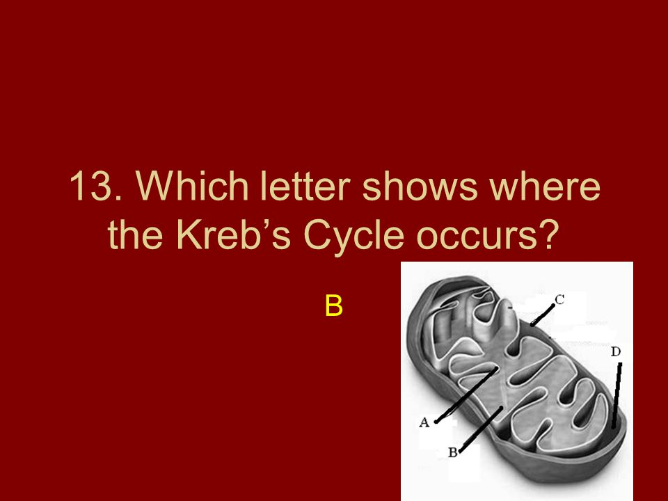 13. Which letter shows where the Kreb's Cycle occurs