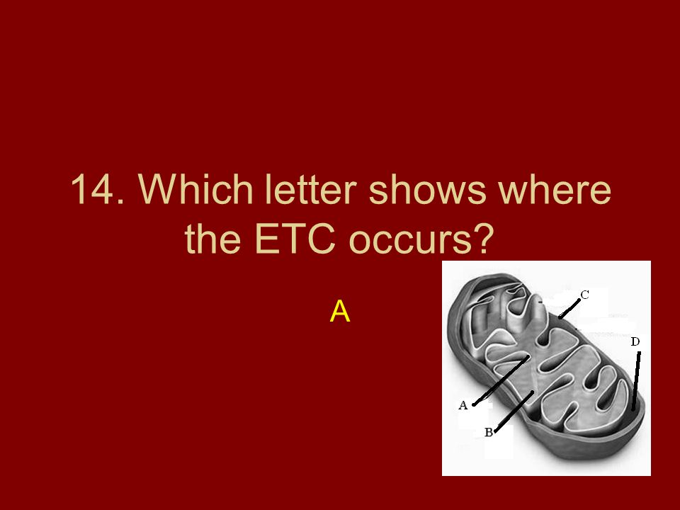 14. Which letter shows where the ETC occurs