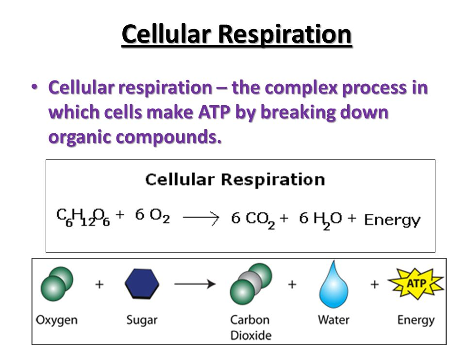 describe the processes involved in breaking Cellular respiration is a set of metabolic reactions and processes that take place in the cells of organisms to convert biochemical energy from nutrients into adenosine triphosphate (atp), and then release waste products the reactions involved in respiration are catabolic reactions, which break large molecules into smaller ones, releasing.