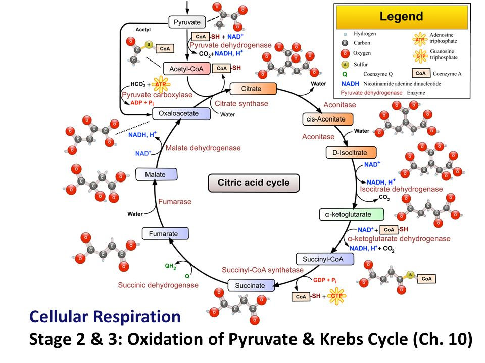 Glycolysis is only the start ppt video online download 1 cellular respiration stage 2 3 oxidation of pyruvate krebs cycle ch 10 ccuart Gallery