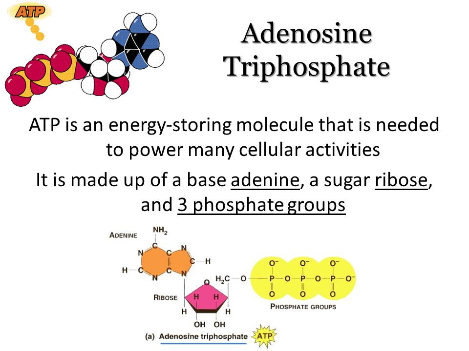 adenosine triphosphate atp essay Paul andersen explains the structure, function and importance of adenosine triphosphate (atp) he begins by describing the specific structure of the molecule and its three main parts: adenine, ribose sugar, and phosphate groups.