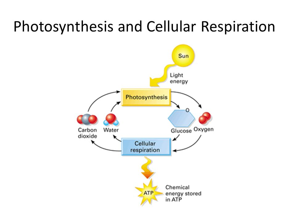 Energy Diagram For Photosynthesis Diagram Of Plant ...