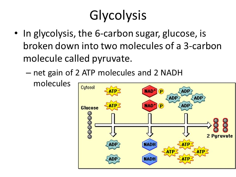 Glycolysis In glycolysis, the 6-carbon sugar, glucose, is broken down into two molecules of a 3-carbon molecule called pyruvate.