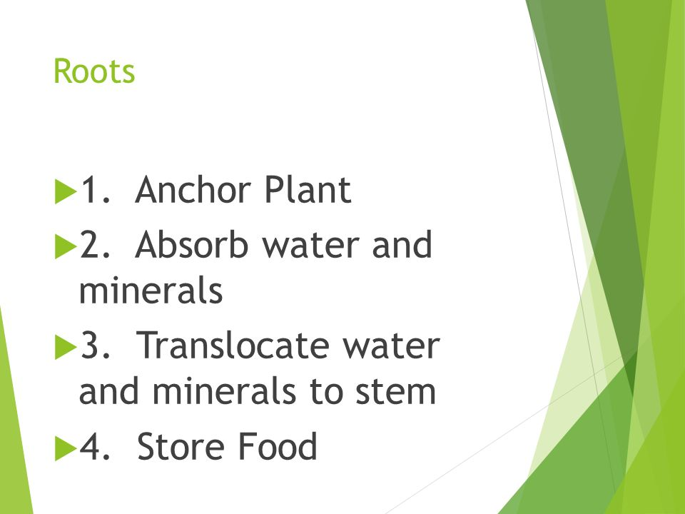 2. Absorb water and minerals 3. Translocate water and minerals to stem
