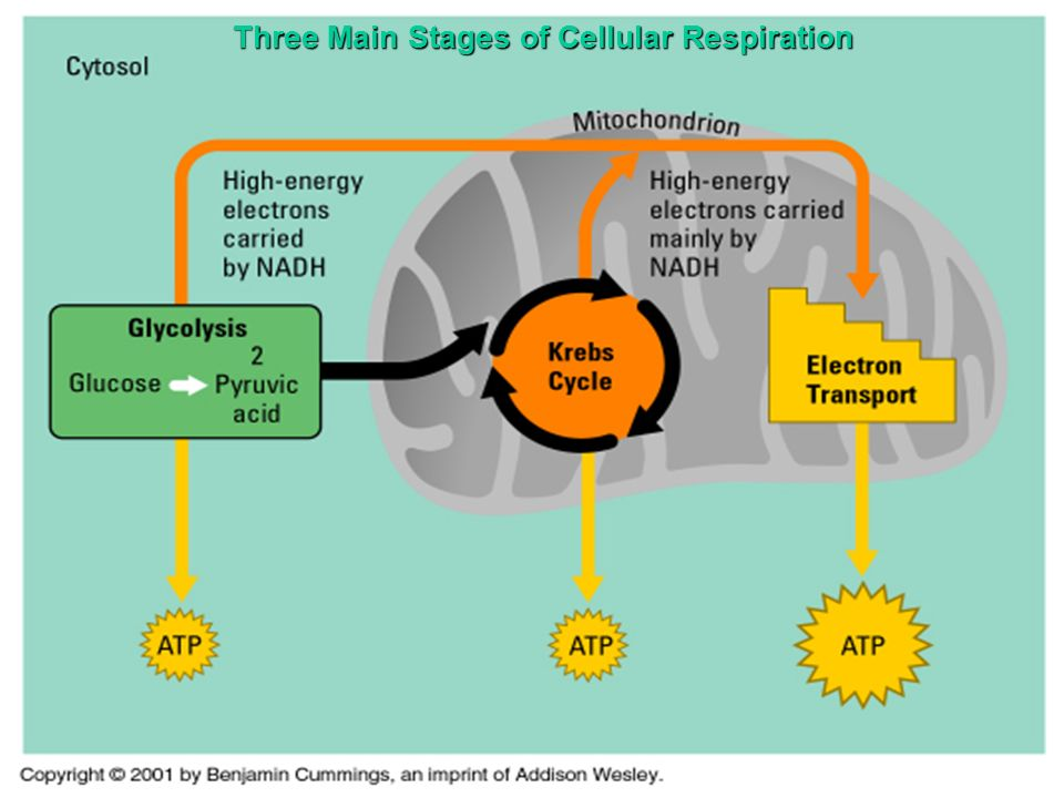 describe the stages of cellular respiration