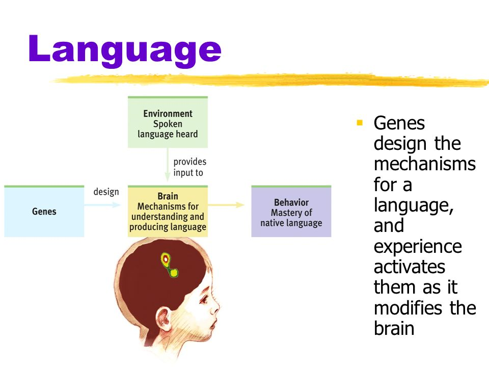 Language Genes design the mechanisms for a language, and experience activates them as it modifies the brain.