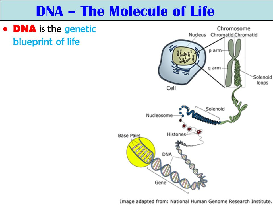 the dna molecule blueprint of life The acid molecule we call deoxyribonucleic acid, which is the building block and blueprint for every living thing,  dna: the blueprint of life christ,.