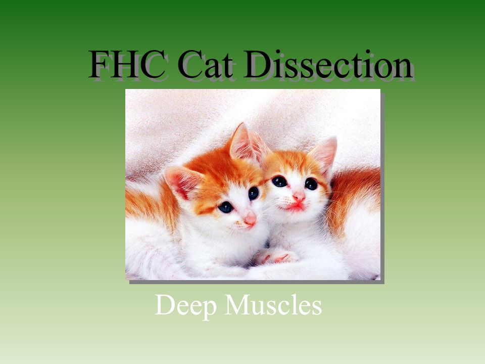 Fhc cat dissection deep muscles ppt video online download 1 fhc cat dissection deep muscles freerunsca Images