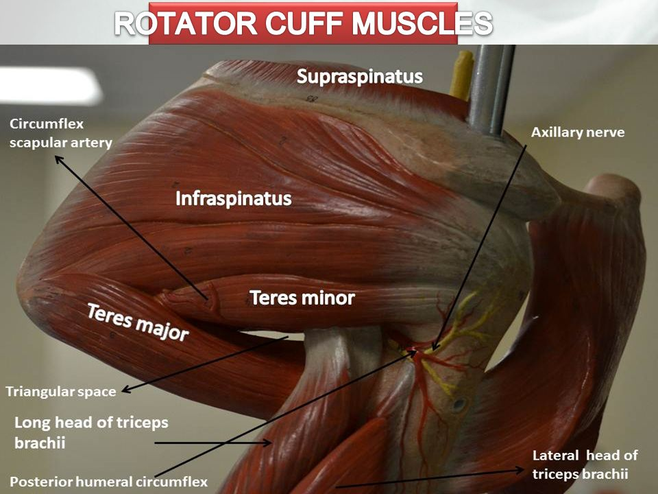 the musculotendinous cuff In anatomy, the rotator cuff) is often referred to as the footprint the infraspinatus and teres minor fuse near their musculotendinous junctions.