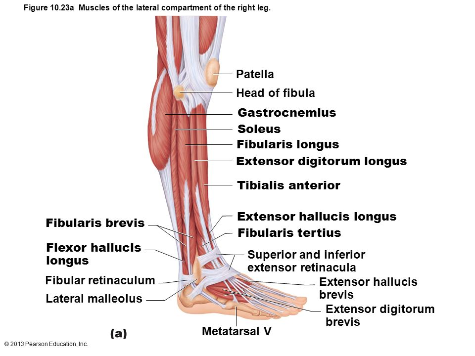 lateral compartment of leg - photo #15