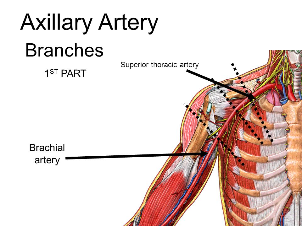 Medial Circumflex Femoral Artery Vascular Anatomy. - pp...