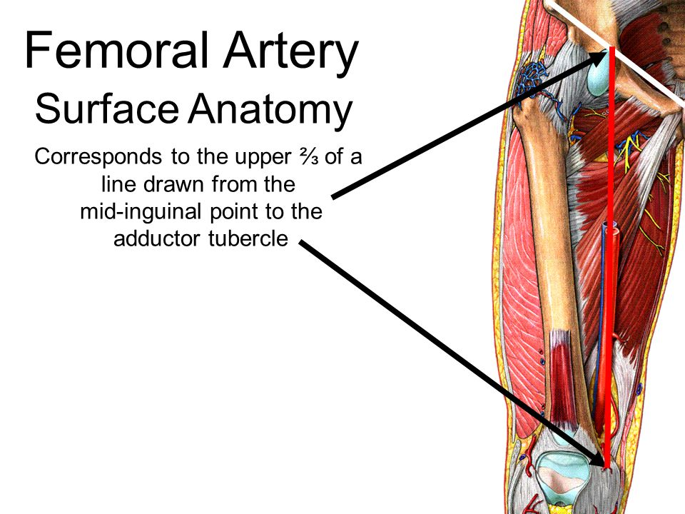 Superficial Femoral Artery Anatomy 1785974 Follow4morefo