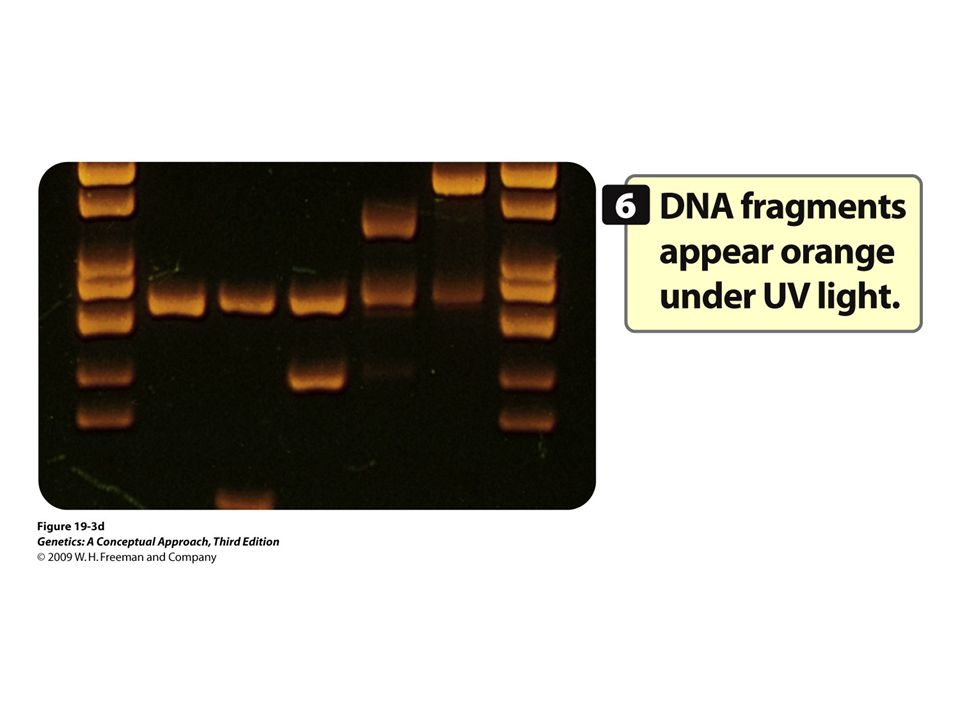 19.3d Gel electrophoresis can be used to separate DNA molecules on the basis of their size and electrical charge.