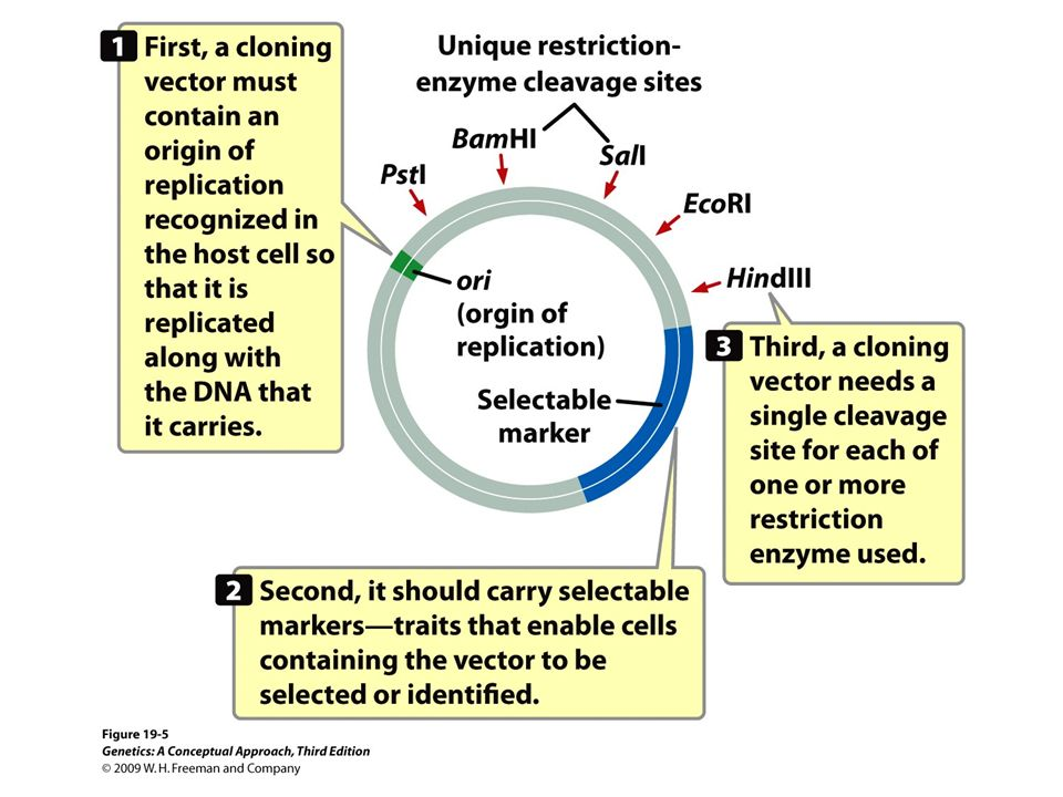 19.5 An idealized cloning vector has an origin of replication, one or more selectable markers, and one or more unique restriction sites.