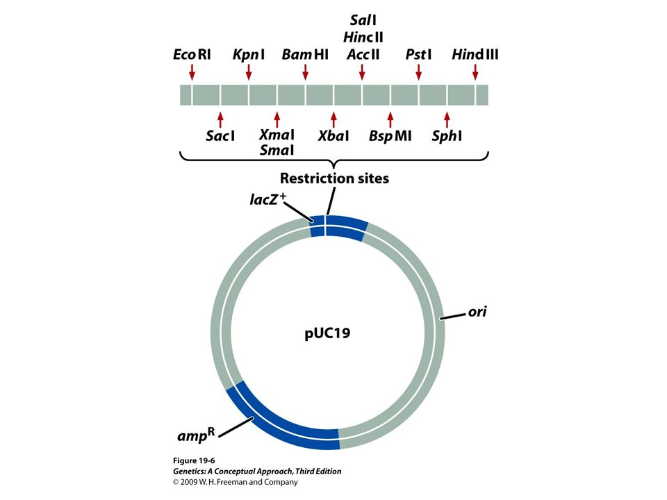 19. 6 The pUC19 plasmid is a typical cloning vector