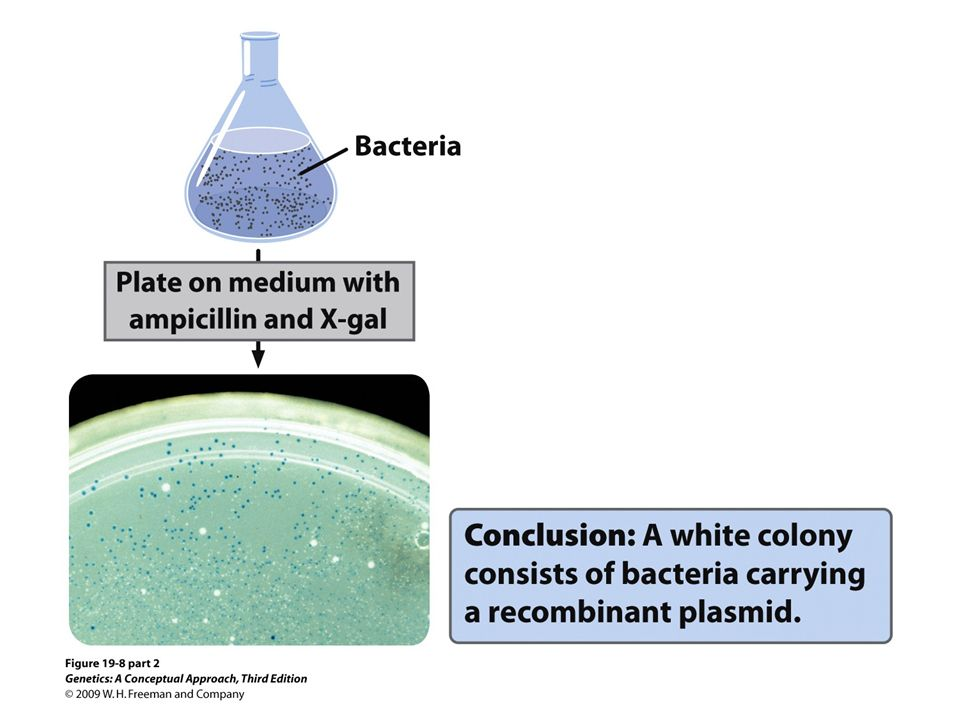 19.8 (part 2) The lacZ gene can be used to screen bacteria containing recombinant plasmids.