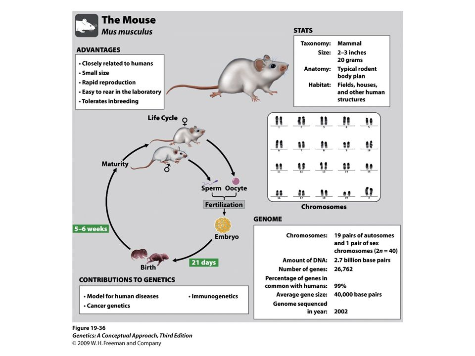The mouse Mus musculus is a model genetic organism
