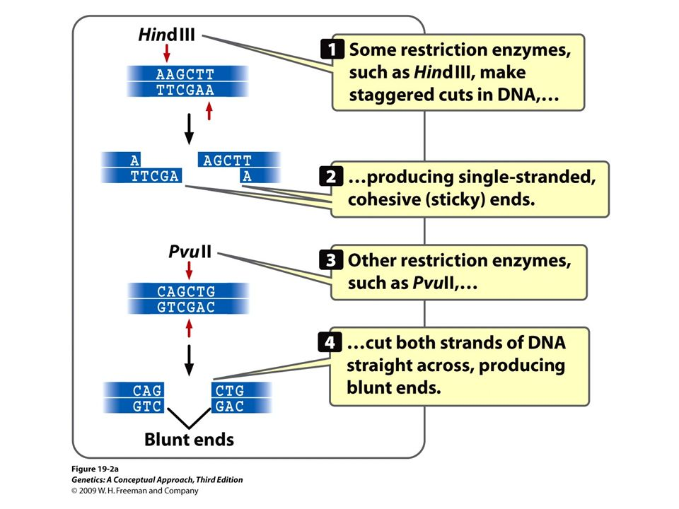 19.2a Restriction enzymes make double-stranded cuts in DNA, producing cohesive, or sticky, ends.
