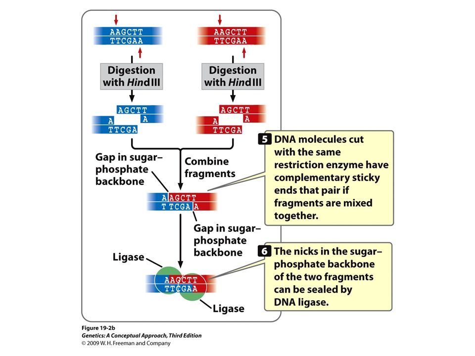 19.2b Restriction enzymes make double-stranded cuts in DNA, producing cohesive, or sticky, ends.