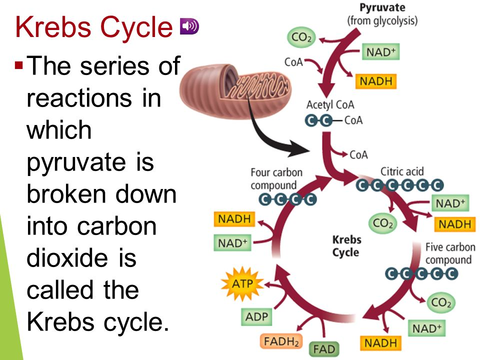 Krebs Cycle The series of reactions in which pyruvate is broken down into carbon dioxide is called the Krebs cycle.