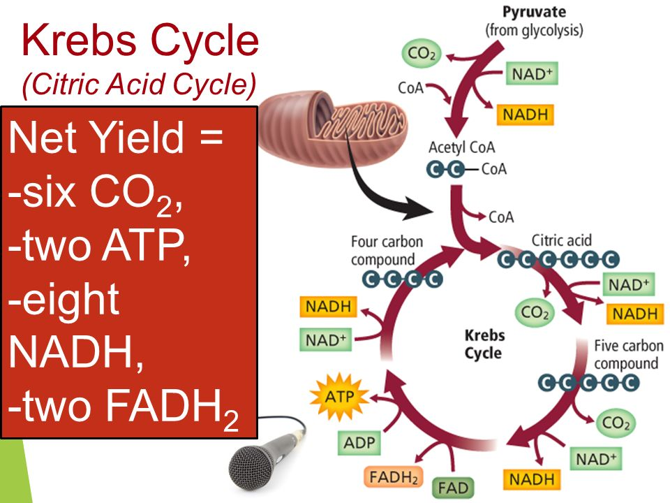 Krebs Cycle Net Yield = -six CO2, -two ATP, -eight NADH, -two FADH2