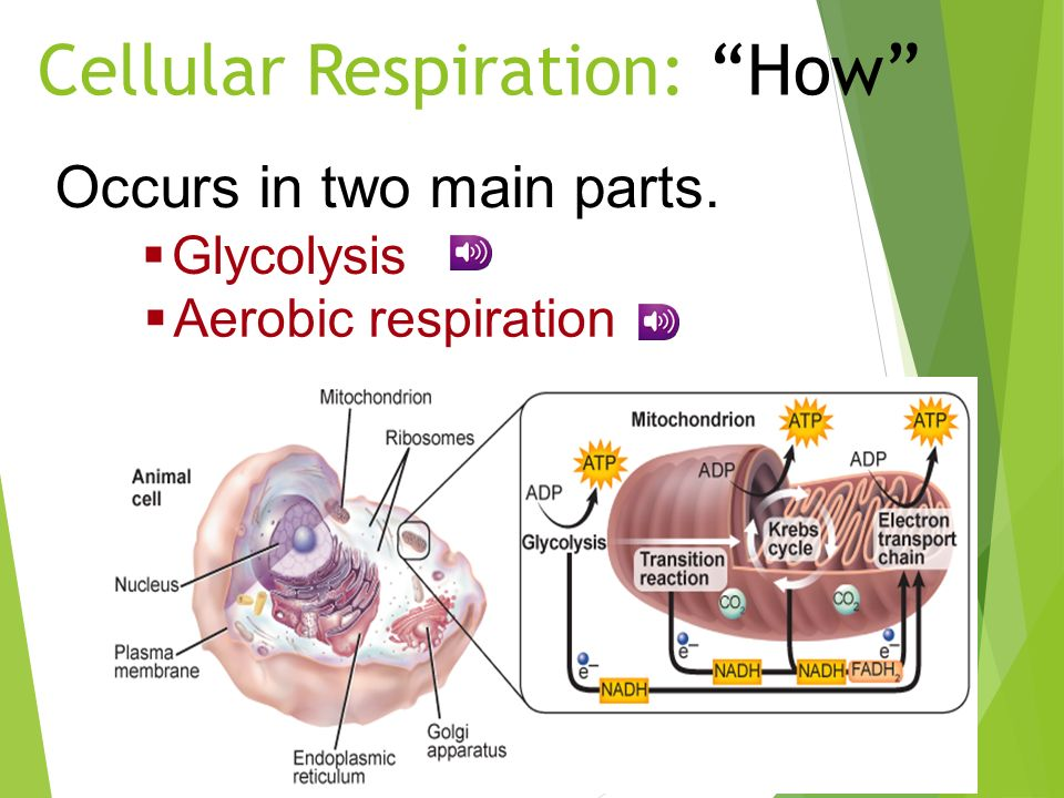 Cellular Respiration: How