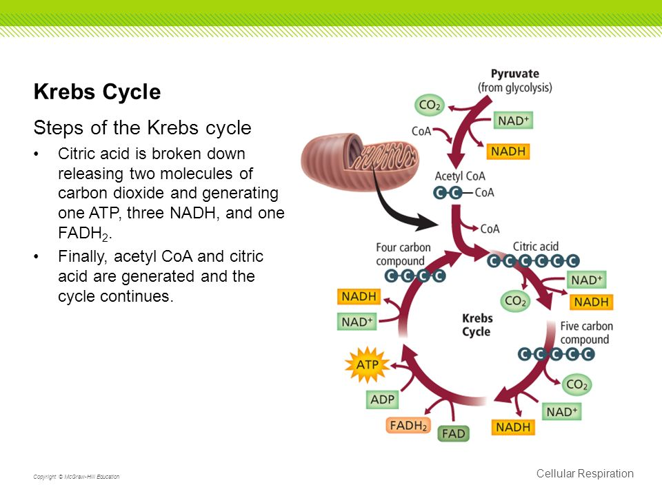 Krebs Cycle Steps of the Krebs cycle