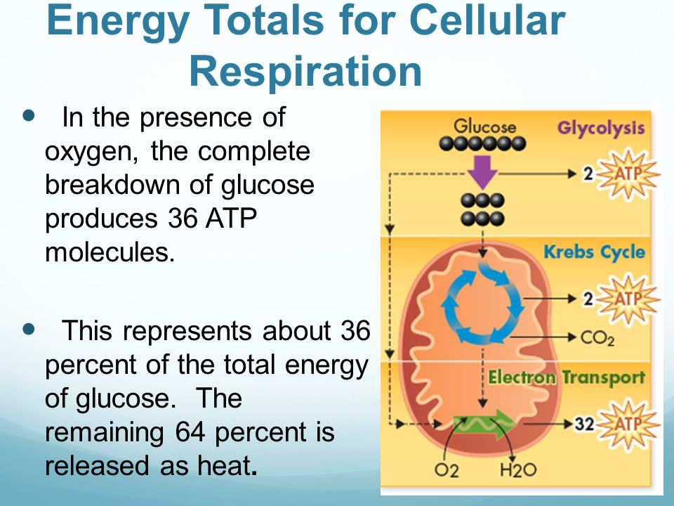 the process of cellular respiration