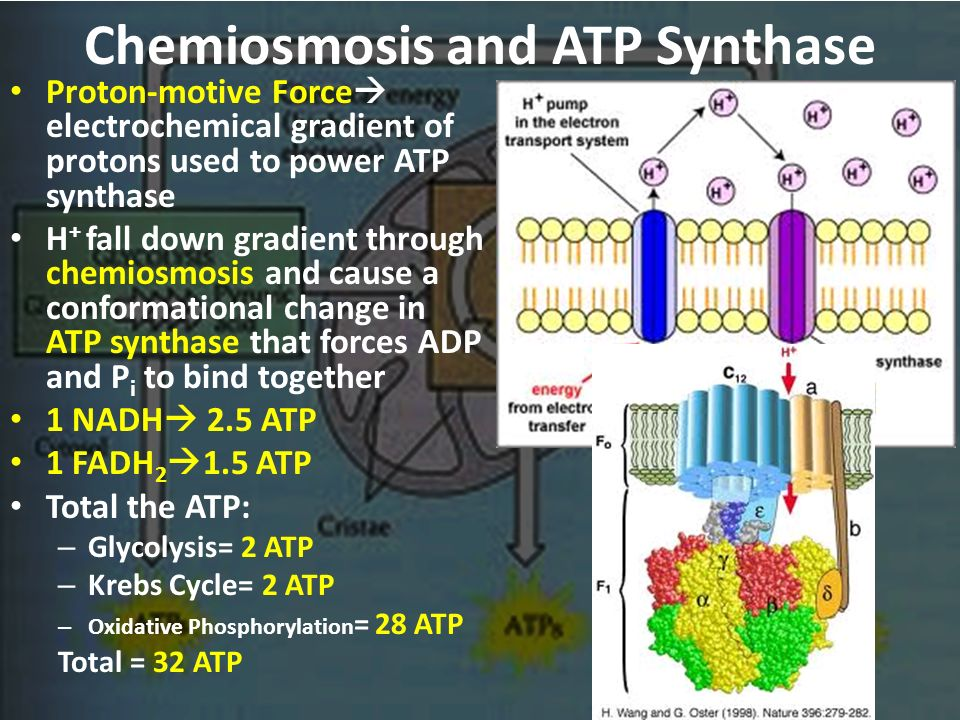 chemiosmosis and atp synthase relationship
