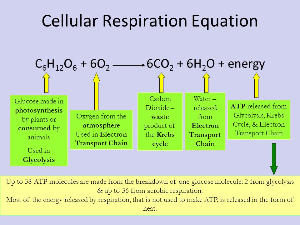 Unit 6- Cell Energy- Photosynthesis & Cellular Respiration - ppt ...