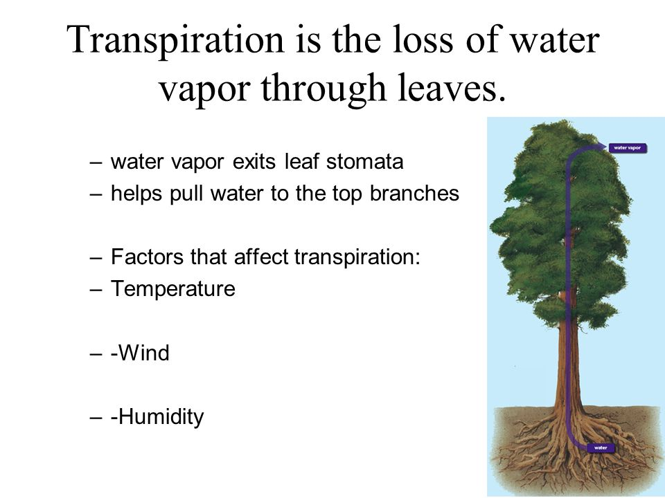 leaf and highest transpiration rates Hands-on activity: just breathe green: measuring transpiration rates contributed by: water awareness research and education (ware) research experience for teachers (ret), university of south florida, tampa.