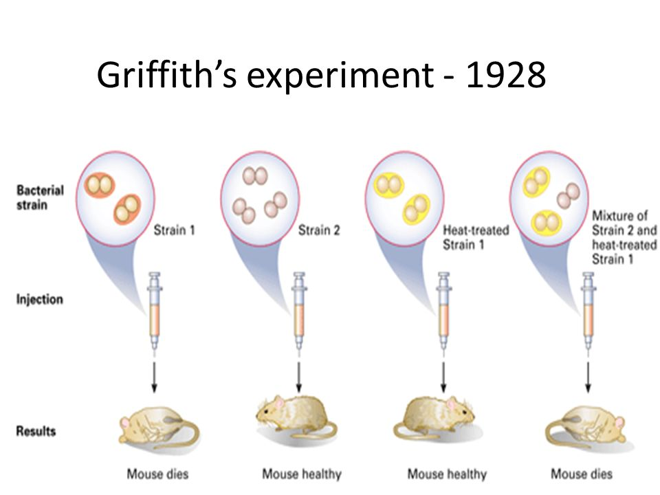 griffiths experiment A ground-breaking experiment, performed in 1928 by frederick griffith, established that there was a transforming principle in bacterial genetics.