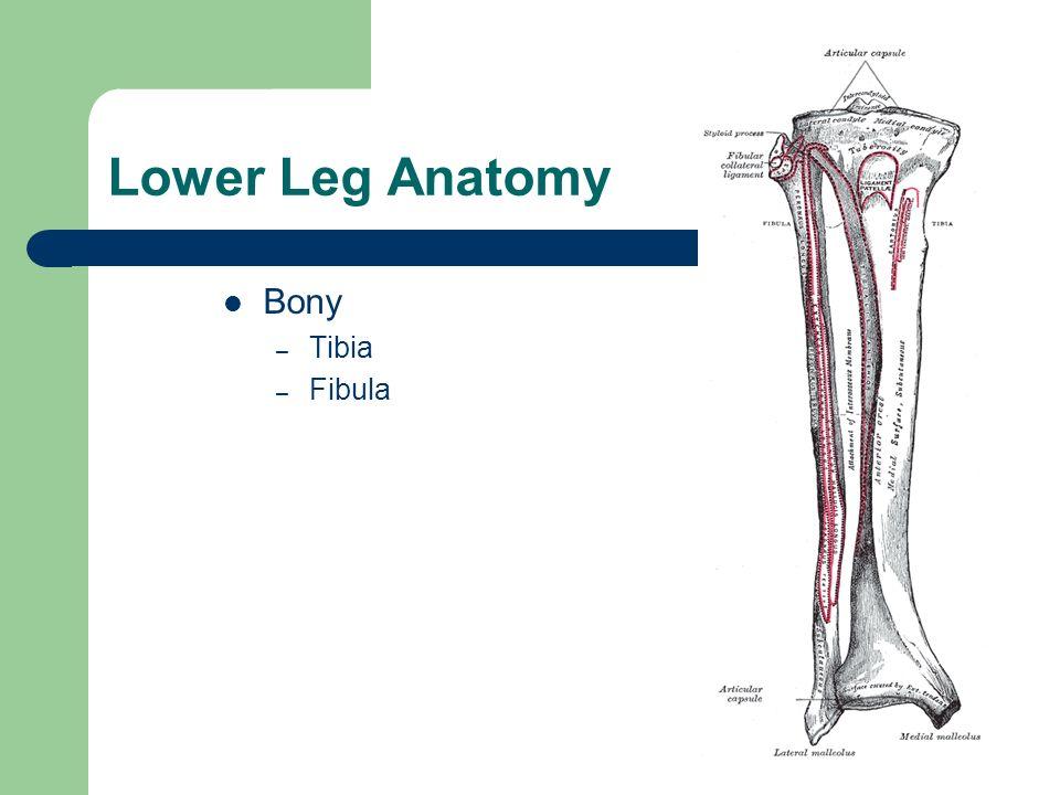 Anatomy of the tibia and fibula