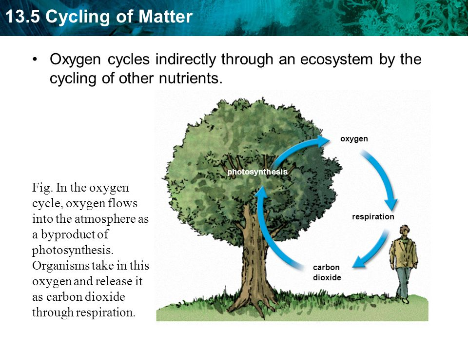 Oxygen cycles indirectly through an ecosystem by the cycling of other nutrients.