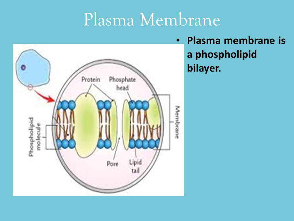 which organelle synthesises the phospholipids that form the plasma membrane Chapter 3: cells and movement in and  the mitochondria are rod shaped and have a double membrane surrounding the organelle  phospholipids form.