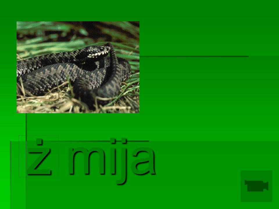 mija ż