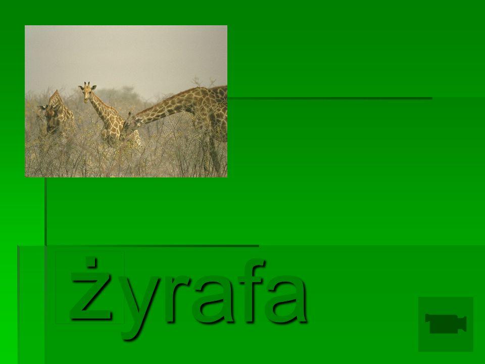 yrafa ż