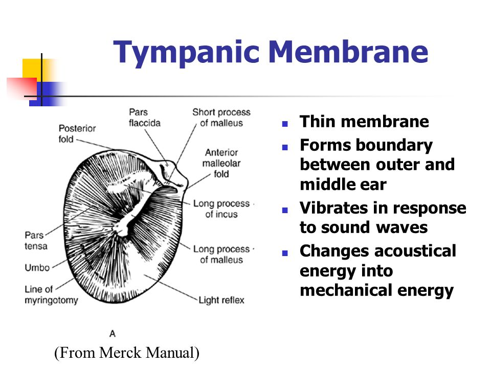 Ear Tympanic Membrane : Anatomy and physiology of the ear ppt video online download