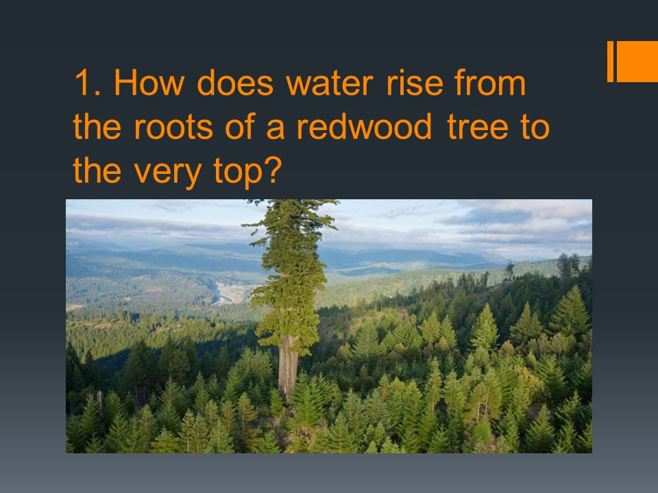1. How does water rise from the roots of a redwood tree to the very top