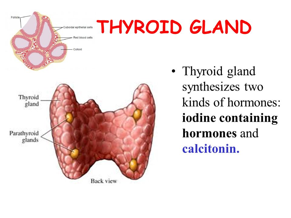 The role of thyroid hormones in the regulation of ...