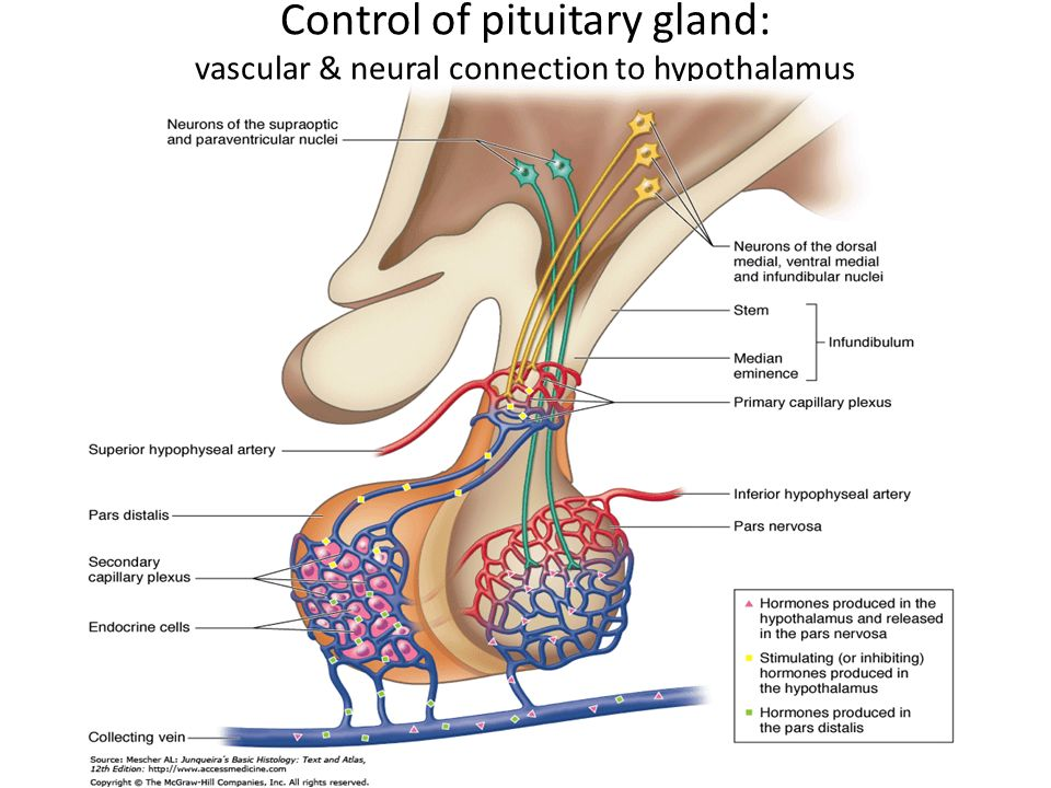 Control of pituitary gland: vascular & neural connection to hypothalamus