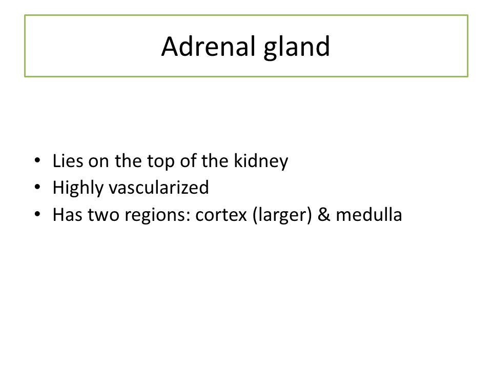 Adrenal gland Lies on the top of the kidney Highly vascularized