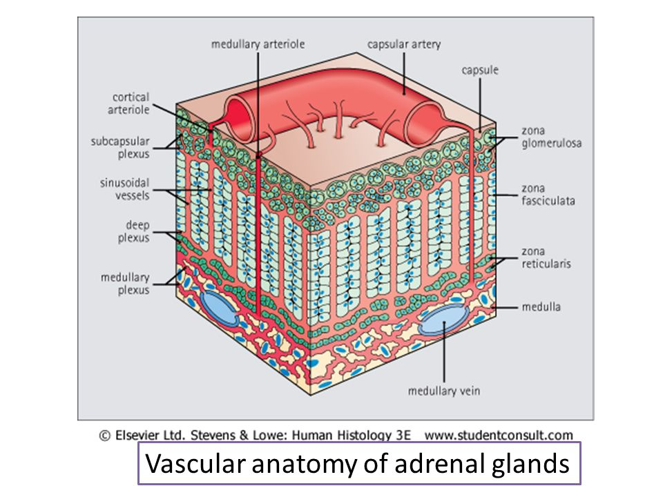 Vascular anatomy of adrenal glands