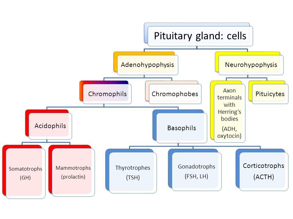 Pituitary gland: cells