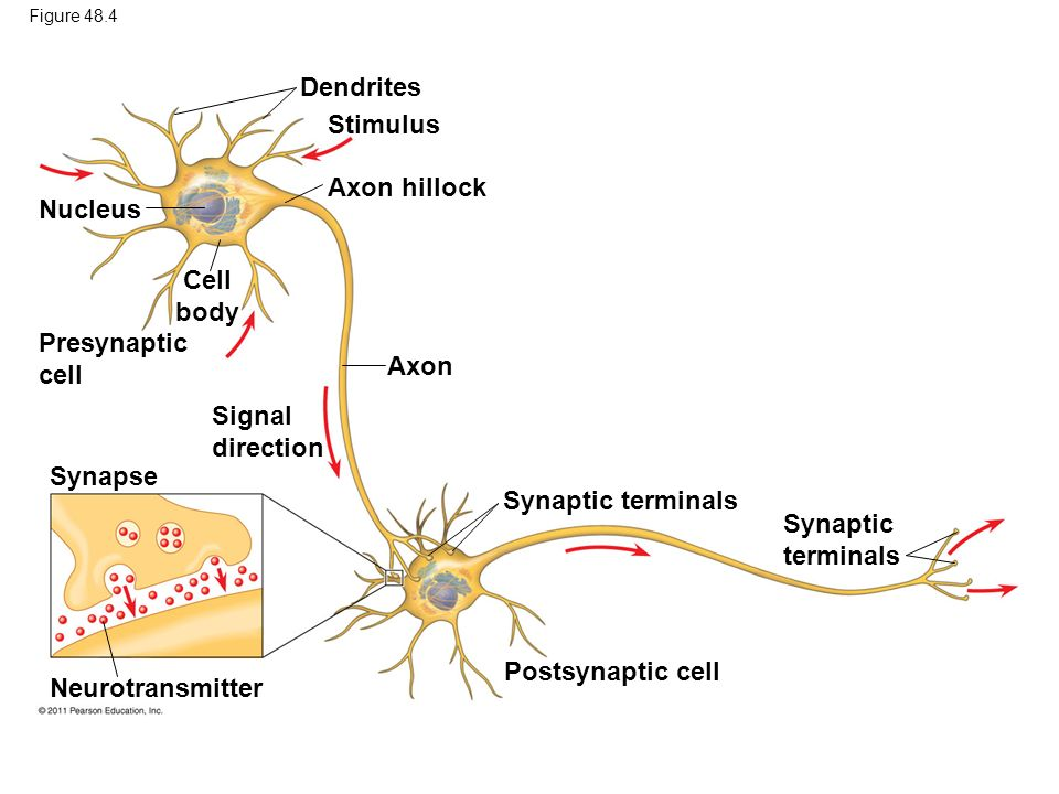 Dendrites Stimulus Axon hillock Nucleus Cell body Presynaptic cell